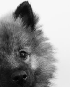 My friend's 11 week old Keeshond had his first studio photo shoot Fluffy Animals, Animals And Pets, Cute Animals, Small Puppies, Cute Dogs And Puppies, Doggies, Cute Dogs Breeds, Small Dog Breeds, Secret Life Of Pets