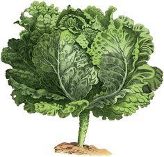 Vintage Garden Image Lettuce: Lettuce Turnip The Beet