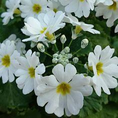 ☆ お花屋さんのお花 ☆ * * * * #花#はな#花撮り人#園芸#植物#自然 #花撮り人#花好きな人と繋がりたい#写真好きな人と繋がりたい#ガーデニング#お花大好き#白色の花 #flower#flowers#gardening#nature #plant#MYBEAUTYFLOWERS#FOTOFANATICS_flowers#flowerstagram #floweroftheday#botanical#florals