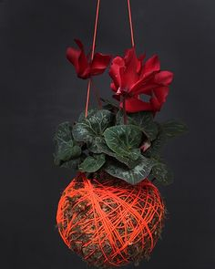 Hanging Pot Plants -- Orange cyclamen kokedama moss ball plant, available from Mister Moss, mister-moss.com