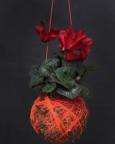 Hanging Pot Plants -- Orange cyclamen kokedama moss ball plant, available from Mister Moss, mister-moss.com