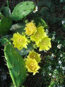 Journeys and Jonquils: Plant Care Profile: Eastern Prickly Pear Cactus (Opuntia humifusa)