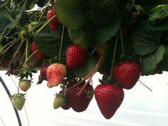 delicious strawberries in Malta, come and pick them up!