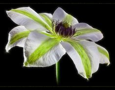 ~~ Striped Clematis ~~