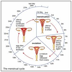The Menstruation Cycle