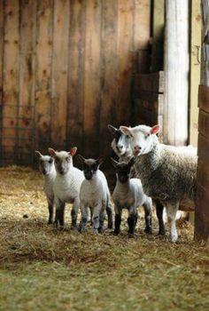 sheep and lambs! (reminds me of BBC's 'Shaun the Sheep'. Farm Animals, Animals And Pets, Cute Animals, Beautiful Creatures, Animals Beautiful, Sheep And Lamb, Baby Sheep, Sheep Farm, Tier Fotos