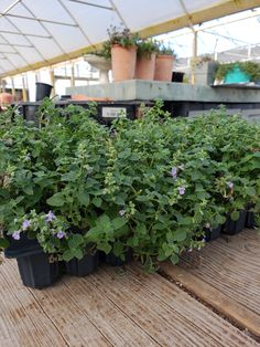 Say hello to a new member of our GGP family, Nepeta Kitten Around! A shorter and sweeter version of our bestselling, Nepeta Walker's Low. Only grows to about 12-14 inches in height which will be perfect for small gardens or filling in that small gap to complete your project. Be sure to check it out and stay tuned for more exciting new arrivals at Great Garden Plants coming this Fall!