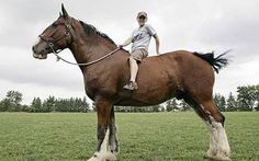 Tallest Clydesdale Horses   ... Tallest Horse Clydesdale   Poe, Thompson, Horse, Clydesdale, Bales