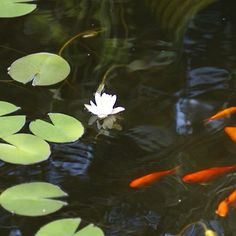 Reflections of a lily pad. Pond, Lily Pad, Fish, Nature, Outdoors, Peace, Animals, Beautiful, Water Pond