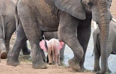 At Kruger National Park, Nicki Coertze photographed a pink elephant, an extremely rare phenomenon simply known as an albino African elephant. Elephants Playing, Herd Of Elephants, Photos Of Elephants, Grey Elephant, African Elephant, African Animals, Unusual Animals, Animals Beautiful, Strange Animals