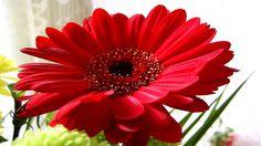 Red gerbera #Flowers #FloweringsPlants