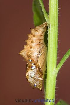 Silver-washed Fritillary Butterfly (Argynnis paphia) chrysalis hanging on Violet stem foodplant