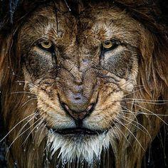 Lion's Snarl.