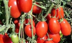 When it comes to fighting stomach cancer, these two varieties of tomato namely, San Marzano and Corbarino can be a lifesaver. Researchers from Italy and the United States found that theses tomatoes blocked the growth of stomach cancer cells and dampened their malignant characteristics. Study co-a