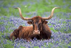 one of my favorite pictures. longhorns&bluebonnets.