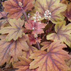 Heucherella 'Sweet Tea' - useful edging, good in shade, evergreen