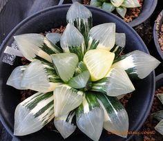 Garry Lee from Planet Haworthia Weird Plants, Plants, Succulents, Succulent Gardening, Cactus Plants, Tropical Plants, Unusual Plants, Indoor Plants, Garden Plants