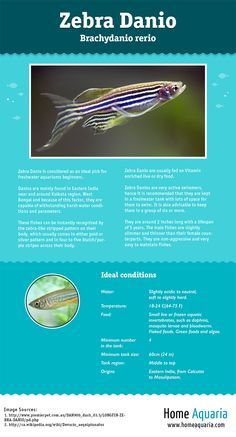 Here's a visual guide to everything you need to know about keeping Zebra Danio in your freshwater aquarium.