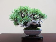 Japanese white pine | ultra mini bonsai blog