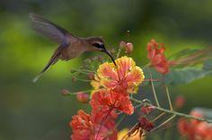 Little Hermit Hummingbird in Osa Peninsula_ Costa Rica