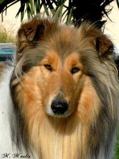 Calypso Du Domaine Des Emeraudes, chien Colley à poil long