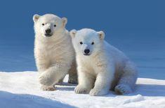Cute Wild Animals, Rare Animals, Cute Funny Animals, Animals Beautiful, Polar Bear On Ice, Baby Polar Bears, We Bear, Bear Cubs, Save The Arctic