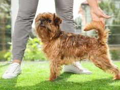 Brussels Griffon Dog Breed: Everything You Need To Know Dog Kidney Disease Diet, What To Feed Dogs, Small Family Dogs, Cool Dog Tricks, Aggressive Dog Breeds, Dog Ringworm, Griffon Dog, Dog Tree, Dangerous Dogs