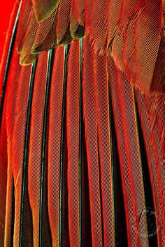 Northern Cardinal feathers by Mark Graf