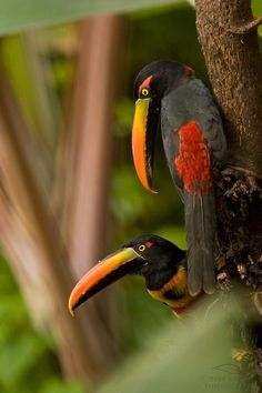 Fiery-Billed Aracaris, photo by Deep Green Photography