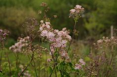 Meadow Rue I love these delicate flowers.
