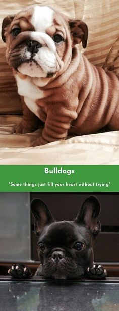 Find more information on Bulldogs Check the webpage for more... #Bulldogs #bulldoglove