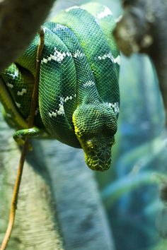 My favorite snake of all time  flowerling: Emerald Tree Boa by Photos by LAG