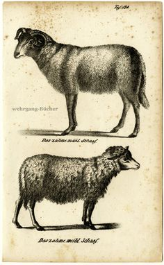 Sheep, Original antique lithograph, from ca. 1830