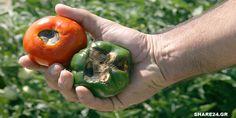 Γιατί Μαυρίζει το Κάτω Μέρος της Ντομάτας (Τάπα) & Τι μπορώ να Κάνω για να το Αντιμετωπίσω; - share24.gr
