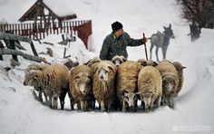 Shepperd driving his sheep, Brasov, Romania by Adrian Petrisor Alpacas, Farm Animals, Animals And Pets, Romania People, Bulgaria, Romanian Girls, Visit Romania, Sheep And Lamb, The Shepherd