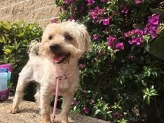 A Home 4 Ever Resc; Costa Mesa, CA. <3 Gypsy is a happy, healthy, playful 5 yr Yorkie X, about 11 lbs. Adorable little guy who loves walks & greets people along the way. His 2nd favorite thing is to snuggle w/ you while relaxing in a chair. Gets along well w/ Dogs, men, women & Kids. Haven't had a chance to have him around Cats. Wonderful addition to any family! House-trd.