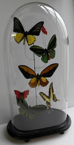colourful mounted butterflies in glass dome  www.demuseumwinkel.com