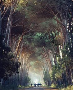 Found this amazing picture of Park Migliarino in Pisa, Italy. Picture by @Maxlazzi #nature #inspire #walk #tunnel #tree #amazing