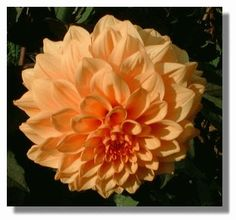 The dahlia illustrated here was photographed in the walled garden at the National Trust for Scotland property at Culzean Castle. It was one of many on display in September.