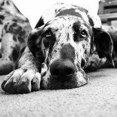 Gorgeous Great Dane girl...