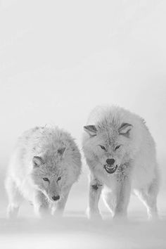 Wolves:  #Wolves.