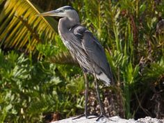 We caught this Great Blue Heron showing off his best plumage this afternoon!  #WildernessWednesday