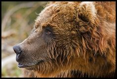 their faces are kind of baboon-like in some ways.  {Alaska Grizzly Bear (1164) by Geyser Gary, via Flickr}