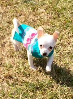 Cindy Lou, French Bulldog, Corgi, Animals, Animales, Animaux, French Bulldog Shedding, Bulldog Frances, Corgis