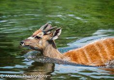 Sitatunga Water Crossing by MonAmi Photography, via Congo, Animal Photography, Mammals, Kangaroo, Giraffe, Funny Animals, Africa, Creatures, Water