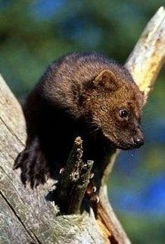 The fisher a forest predator which is also referred to as fisher cat, is a medium-sized mammal native to North America. The fisher ranges across. Fisher Animal, Fisher Cat, Predator Hunting, Cat Reference, Interesting Animals, Paws And Claws, North America, North Dakota, Mammals