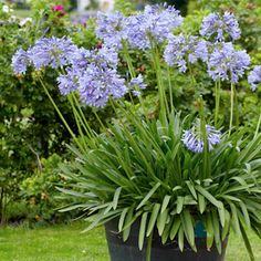 Agapanthus 'Brilliant Blue' - an excellent shorter-stemmed variety, with brilliant blue flowers. 'Brilliant Blue' reaches up to 60cm in height and is a good choice for borders. It's deciduous and hardy.