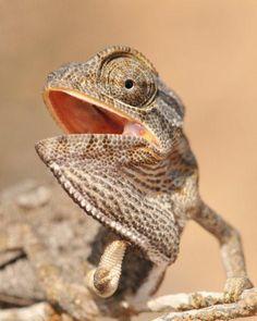 Sinai Chameleon (Chamaeleo chamaeleon musae)