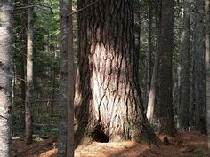 Eastern White Pine (Pinus strobus) - the tallest tree in the Maine forest and in eastern North America