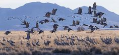 """""""Sandhill Cranes"""" photo by Eric Gofreed. In birding photography, the mass migration of these birds is one of the most captivating moments that occurs every spring."""